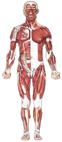 Front Musculature